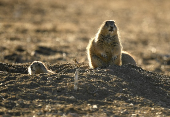 Prairie dogs in North Boulder county in Boulder, Colorado.